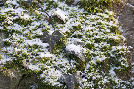 living organisms: Leaves with snow on rock Stock Photo