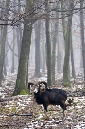 living organisms: Mouflon standing and looking the camera with high trees and fog in the background