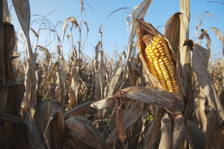 Withered corn field detail with ripe corn cob at morning sunlight photo
