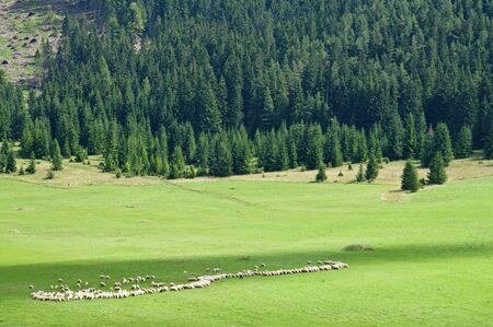 resolved: Sheep resolved in a row on the pasture at sunny mountain landscape Stock Photo