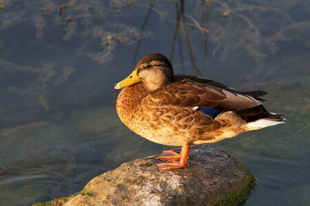 female mallard duck: At sunset in warm sunlight a female mallard duck standing on small rock Stock Photo
