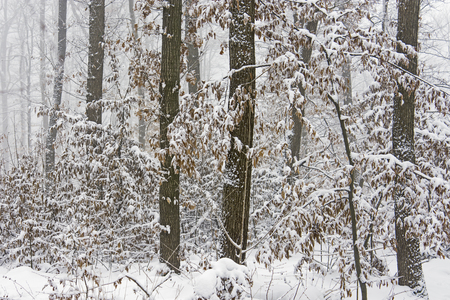 Winter snowy oak forest at foggy day