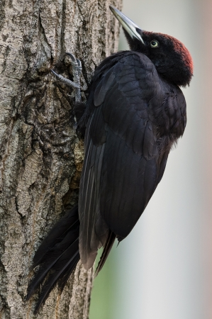 Black woodpecker in the city