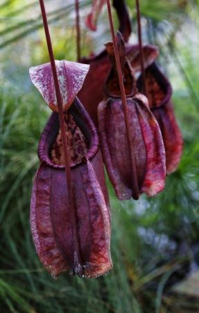 insectivorous plants: Carnivorous plant