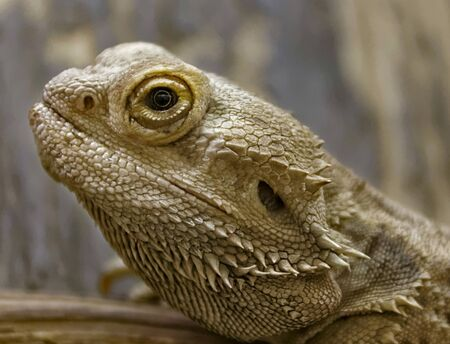 desert lizard: Central bearded dragon in Budapest Zoo Stock Photo
