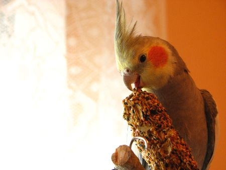 parrot cockatiel eating