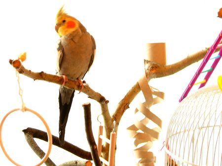 parrot cockatiel pet sitting on a branch white background