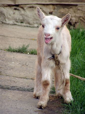 portrait of a little goat with its mouth open