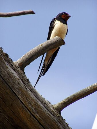 swallow sitting on a tree