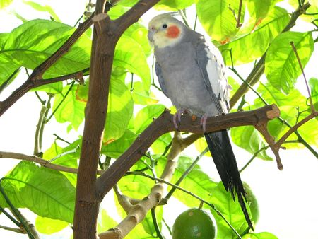 cockatiel sitting on a lemon tree