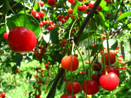 loads of sour cherry on tree