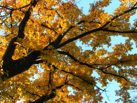 yellow leaves on autumn tree