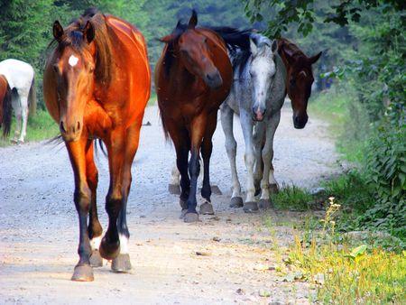 Mandria di cavalli selvatici passeggiare  Archivio Fotografico - 2210069