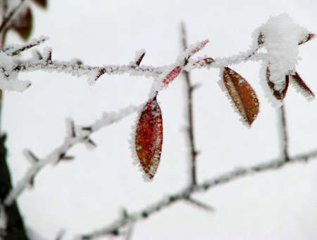 winter frost on thorn and leaves valentines greeting card concept photo