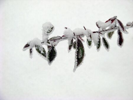 branch with frozen leaves new years greeting card concept