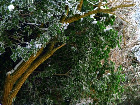 tranquille: winter foliage, green leaves with white hoarfrost contour