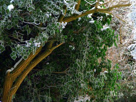 sub zero: winter foliage, green leaves with white hoarfrost contour