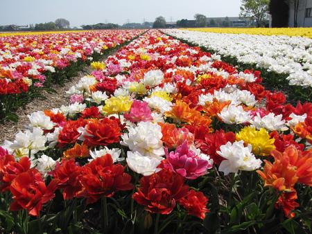 parfum: field of blooming tulip flowers in Holland Stock Photo