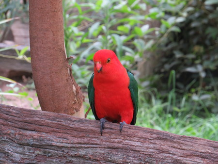 king parrot: Male King Parrot Perching on a tree