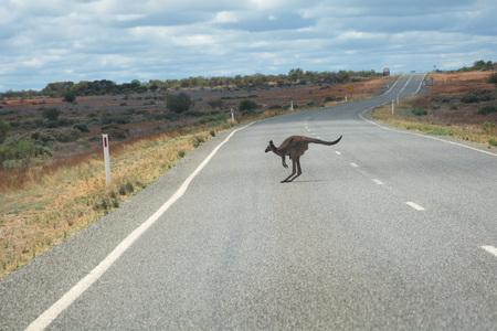 outback australia: Kangaroo over road in outback Australia Stock Photo