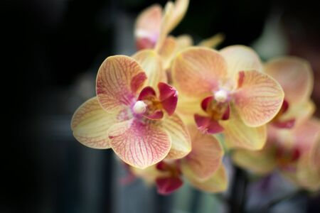 Closeup of a stem of cream coloured orchids Stock Photo