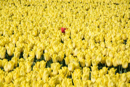 bright red tulip in a field of yellow tulips