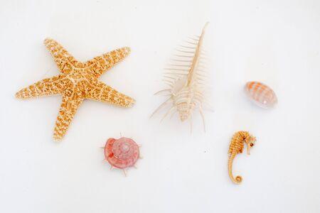 caballo de mar: Varios tipos de conchas de mar, estrellas de mar y caballitos de mar sobre un fondo claro
