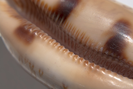 Extreme closeup of a coffee bean sea shell Stock Photo