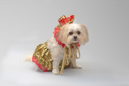 White maltese shi-tzu dog dressed up for a party
