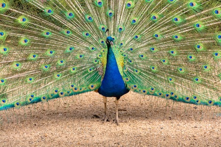 Closeup of a male peacock spreading his feathers