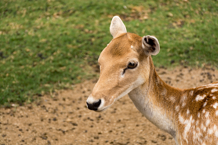 Doe eyed fawn young deer in green grass Stok Fotoğraf - 74779954