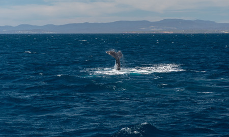 Capture of Humpback whale frolicking in the sea on a sunny day