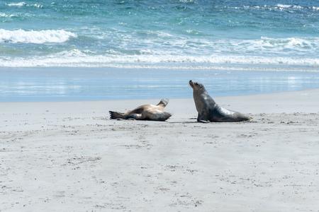 Australian Sea Lions by the sea