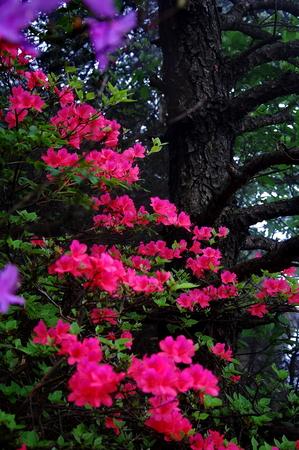 azaleas: Azaleas Stock Photo