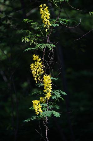 langosta: Flor Locust