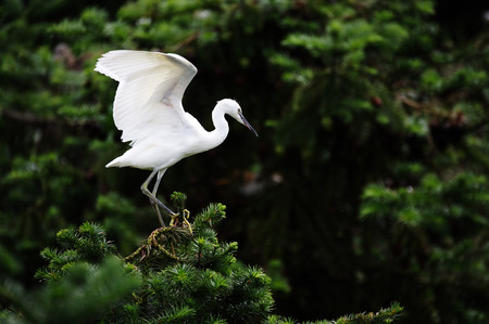 egret: wild egret Stock Photo
