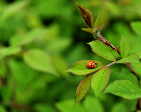 coccinella: lonely Ladybird