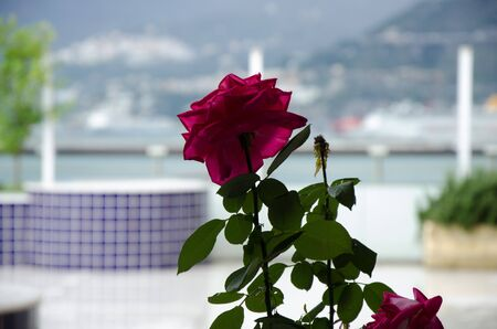 rose on the terrace