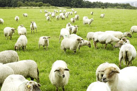Sheeps Stock Photo - 3429809