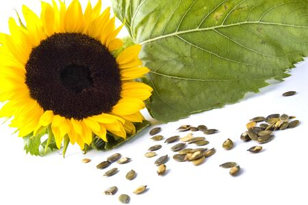 Sunflower with seed photo