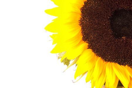 daises: Sunflower