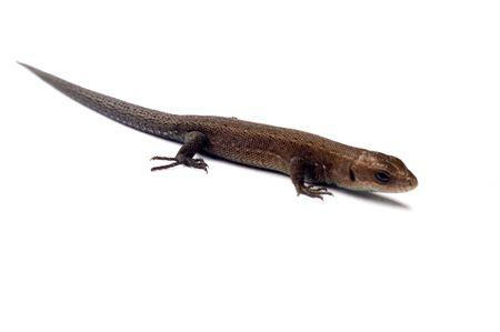 Lizard isolated