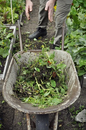 Portrait view of the hands of a gardener throwing weed into a rusty old wheelbarrow. Stock Photo