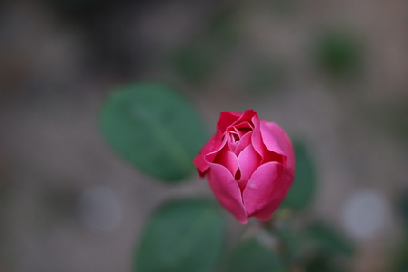 pubertad: rosa roja