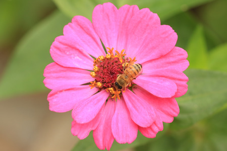 bee on flower: calliopsis flower with bee