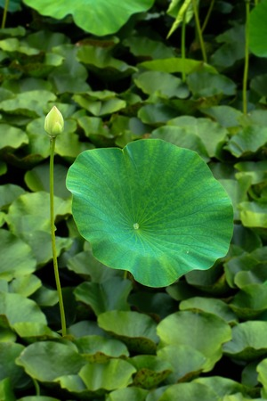 coincidence: Lotus leaves