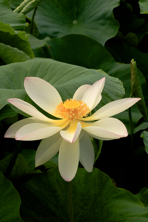 seedpod: white Lotus