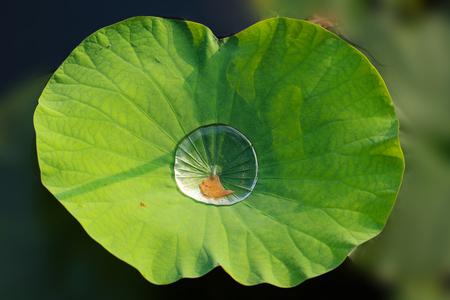 lotus leaf: dew on lotus leaf