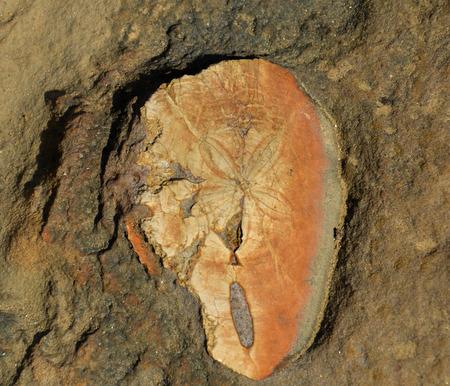 urchin: Sea urchin fossil found at Yehliu Geopark (Taiwan)