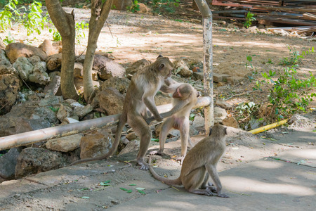 Monkeys (crab eating macaque) try to catch genital another one in Lopburi,Thailand Stock Photo